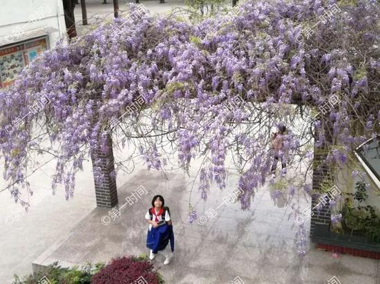 浪漫啊!桂林丝袜微商代理紫藤花开 爱花的你快去看一看