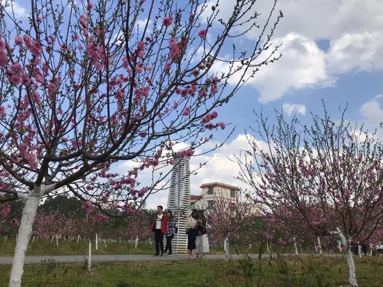 仙迹桃花岛内的桃花陆续盛开,花期将持续至3月。