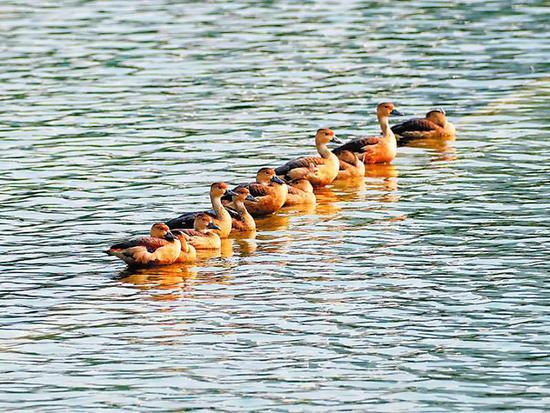 萌到不行!22只栗树鸭成群现身南湖公园