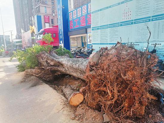 好心疼!南宁明秀西路边百余棵粗壮绿树被粗暴破坏?