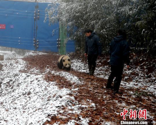 """大熊猫""""和雨""""在野化放归基地。 崔凯 摄"""