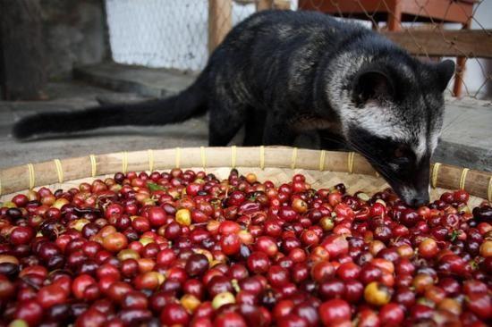 探秘越南猫屎咖啡