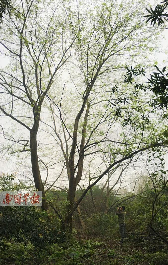 枫杨、沙皮树、柳树等原生树种枝繁叶茂,成就了萝卜洲良好的生态环境。