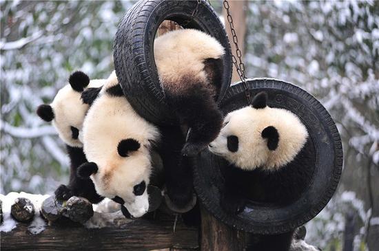 大熊猫幼儿园里面的大熊猫宝宝