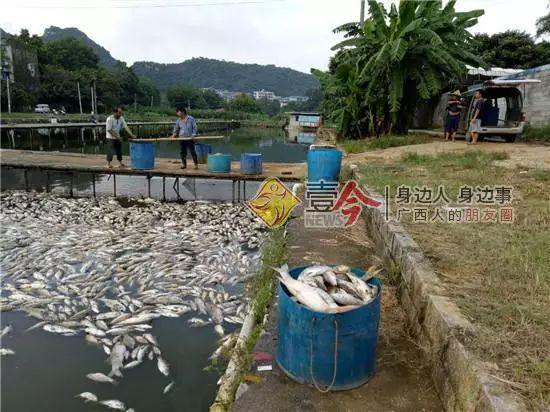 工人将死鱼捞起,运走。受访者供图