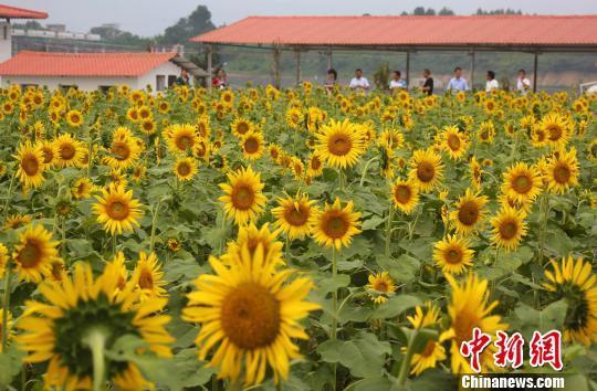 9月26日,在广西融水苗族自治县和睦镇古顶村半岛葵花园,游人在葵花中游玩。龙林智摄