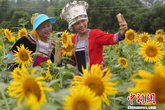 9月26日,在广西融水苗族自治县和睦镇古顶村半岛葵花园,两名苗妹在葵花中拍照留影。龙林智摄