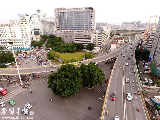 【古树】 为了保护两棵古榕,白沙大桥改了规划。