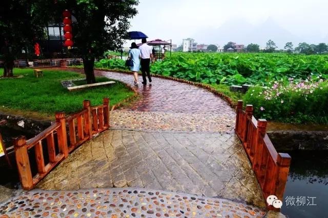 """除此之外,柳江还有广西第一条特色乡村休闲绿道——柳江""""乡约·藕遇""""骑行绿道。"""