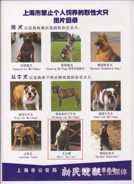 图说:上海禁止个人饲养包括牛头梗在内的烈性犬只 季晟祯 摄(下同)
