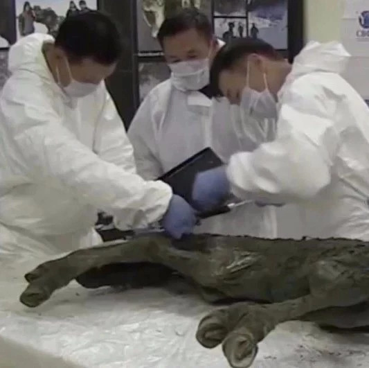 神奇!4万年前的小马驹 被发现时内脏和皮毛完好无损