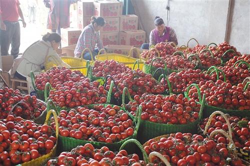 今年,和强村华强坡西红柿基地的西红柿大获丰收 通讯员 陈金莲 摄