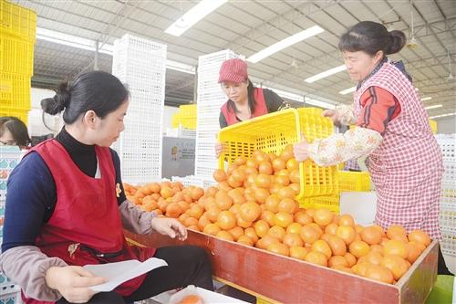 工人在分拣包装武鸣沃柑 本报记者 刘增璇 摄
