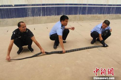 图为西双版纳民警对眼镜蛇进行测量。 解雄波 摄