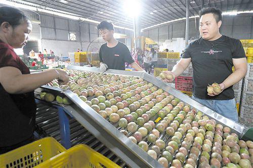 """庞志玉购买的""""分果器"""",他收来的百香果先经过人工粗筛后,再由机器按规格分拣"""