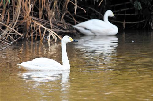 候鸟大批南迁选择南宁落脚 五象湖出现成群斑嘴鸭