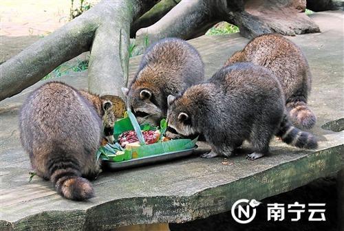小浣熊们快乐聚餐
