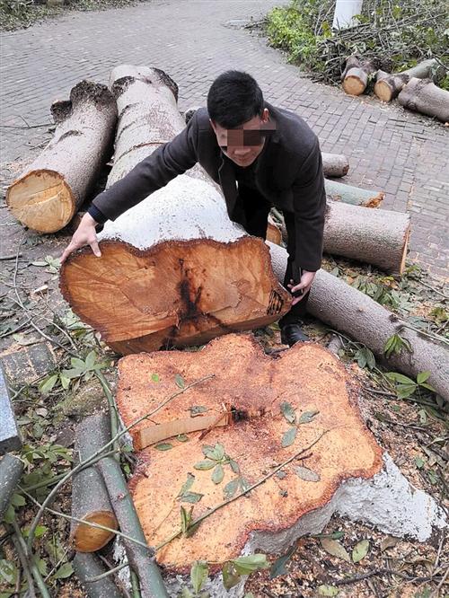 小区里不少树木已被砍得只剩树墩了