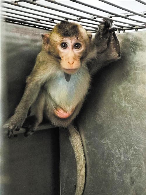 千只越南食蟹猴顺利入境抵邕 为引进种源用于繁殖
