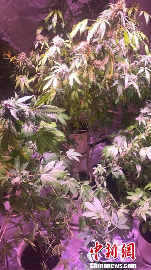 大麻植株栽在花盆里,上面悬挂着LED灯。金华公安提供