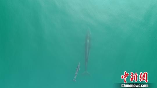 布氏鲸母子同框出游 肖华 摄
