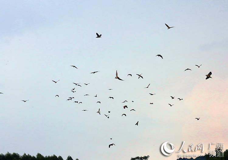 数千只白鹭和夜鹭出现在象州