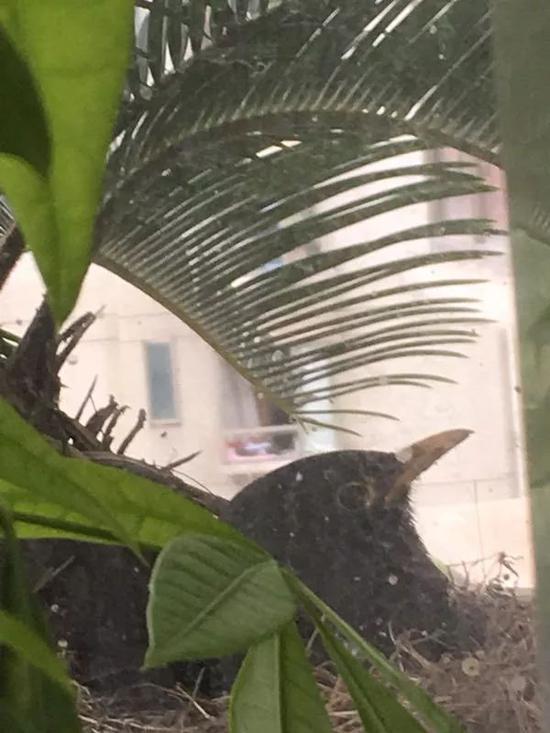 雄鸟在孵蛋
