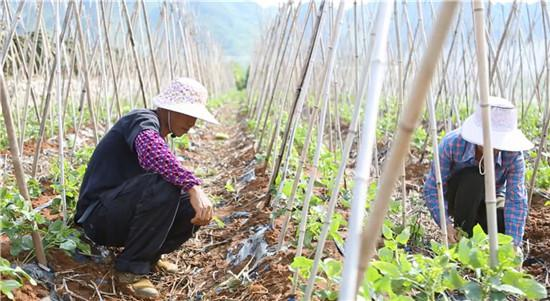 新立村村民马正规正和妻子在自己的蔬菜地忙活。广西新闻网记者 王希摄