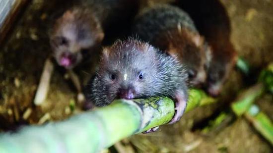 广西1800万只竹鼠被判死缓 涉及10万养殖户的生计
