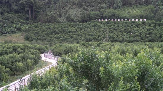 百坭村的砂糖橘种植园。广西新闻网记者 林亮摄