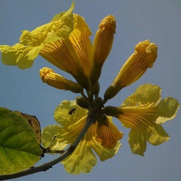 世界著名观赏树种终于在桂林开花了!花期只有10天