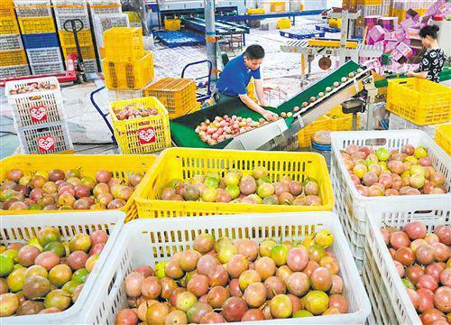 """庞志玉的仓库里,每天都有大量的百香果通过""""多多果园""""发往全国各地"""