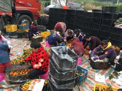 村民打包蜜桔。