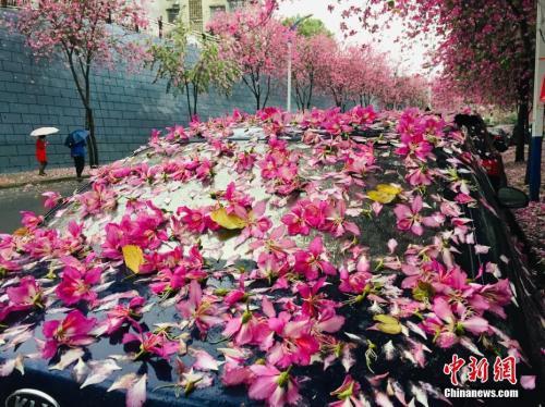 """一场春雨过后,停在树下的车变为""""花车""""。  朱柳融 摄"""
