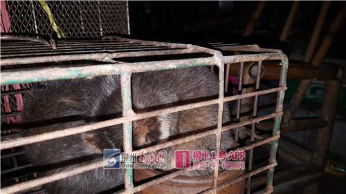 白额狸、眼镜蛇、榕蛇……柳州老板丢下这些动物跑了