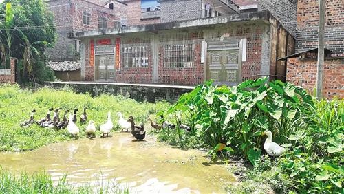 青秀区刘圩镇那床村那床坡散养鸭子现象较普遍 本报记者 韦薇 摄