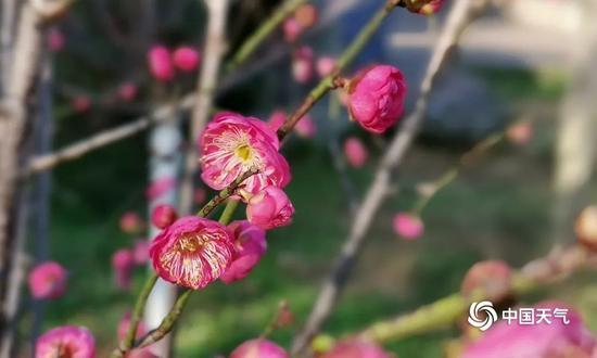 近日,经过寒风冷雨后,桂林西山公园的梅花傲然绽放(图/胡静)