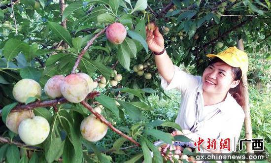 图为桂林平乐县大水李助农民增收。陶彩忠 摄