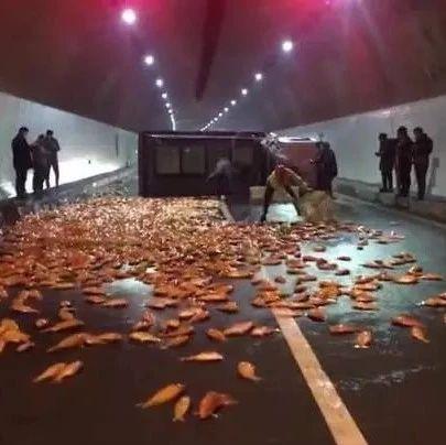 浙江高速惊现6000多斤红鲤鱼 百米路面活蹦乱跳
