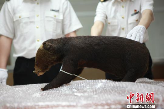 被制成标本的小熊被海关查获 罗湖海关 摄