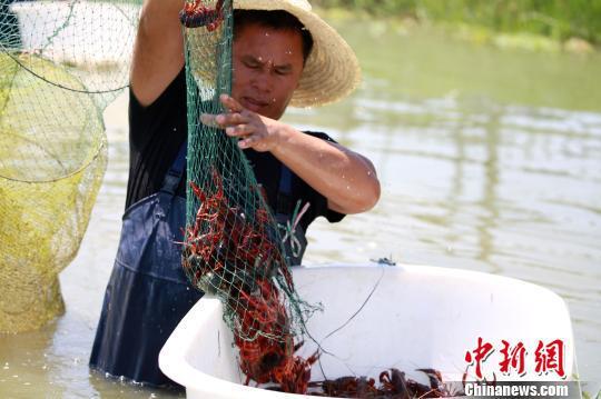 一名虾农将小龙虾装入盆中。 朱柳融 摄