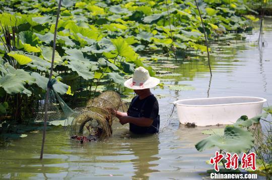 虾农正在藕田中收小龙虾网。 朱柳融 摄