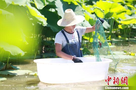 一名虾农穿着水裤,到藕田中捞小龙虾。 朱柳融 摄