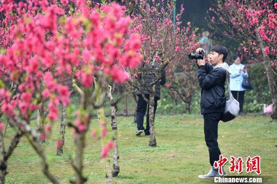 2月13日,广西南宁市青秀山风景区内,12万株桃花盛放,吸引大批民众前往观赏。图为民众在桃花树丛中拍照留念。 俞靖 摄
