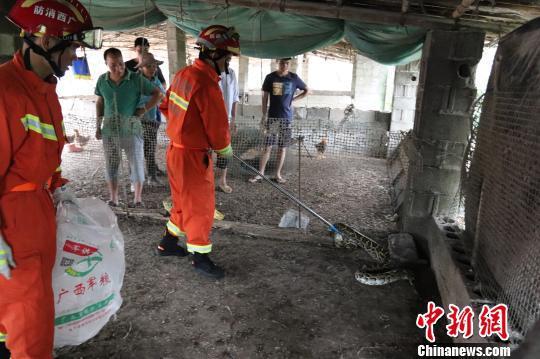消防指战员利用捕蛇器抓捕蟒蛇 隆壮文 摄