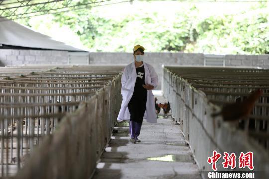 杨柳青在猪圈内巡查。 韦鼎标 摄