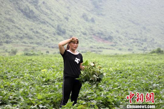 6月6日,杨柳青在红薯基地里劳作。 韦鼎标 摄