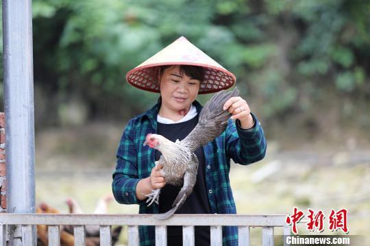 杨柳青在查看土鸡长势。 韦鼎标 摄
