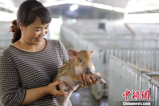 杨柳青在查看猪苗长势。 韦鼎标 摄
