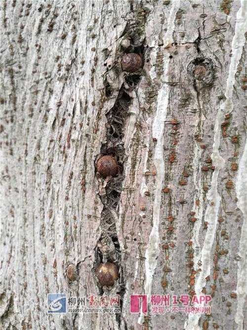 树皮嵌着不少钢珠